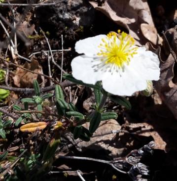 White rock-rose